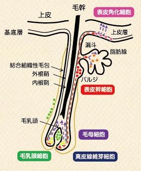 毛乳頭と毛母細胞
